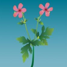 Anemone-leaved Geranium.jpg
